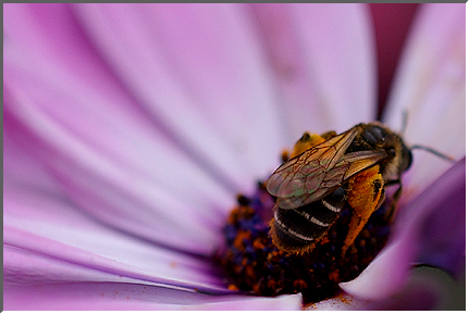 bee_on_osteospermum.jpg