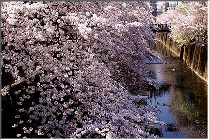 cherryblossom_05_02.jpg