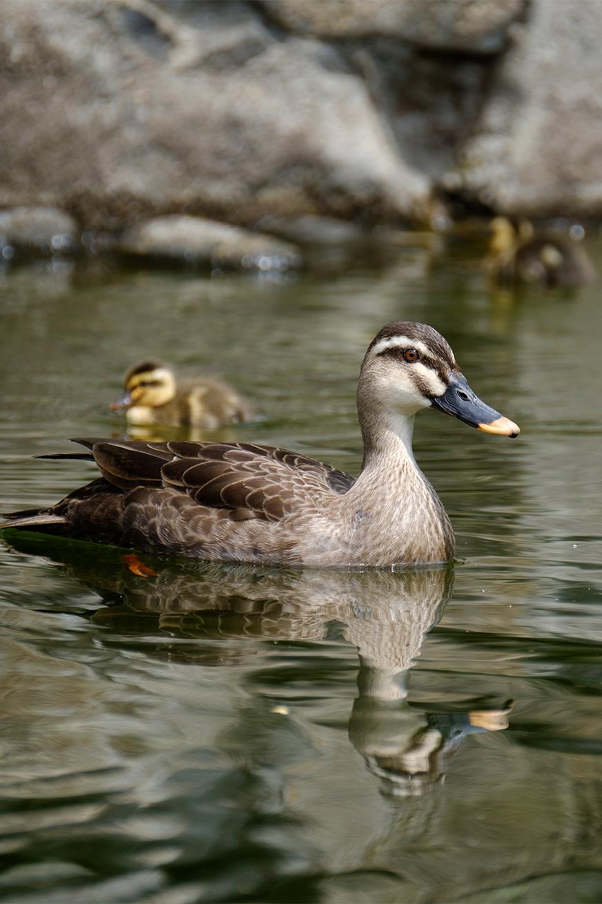 duck_170503_02.jpg