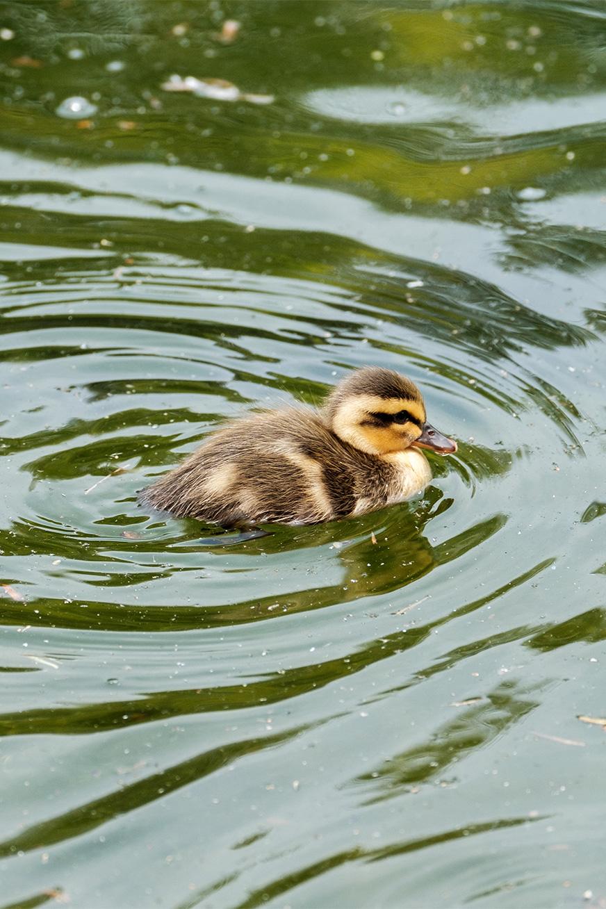 duck_170503_03.jpg