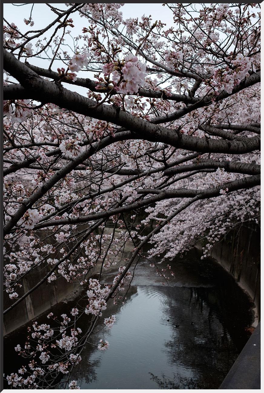 hanami_160402_05.jpg