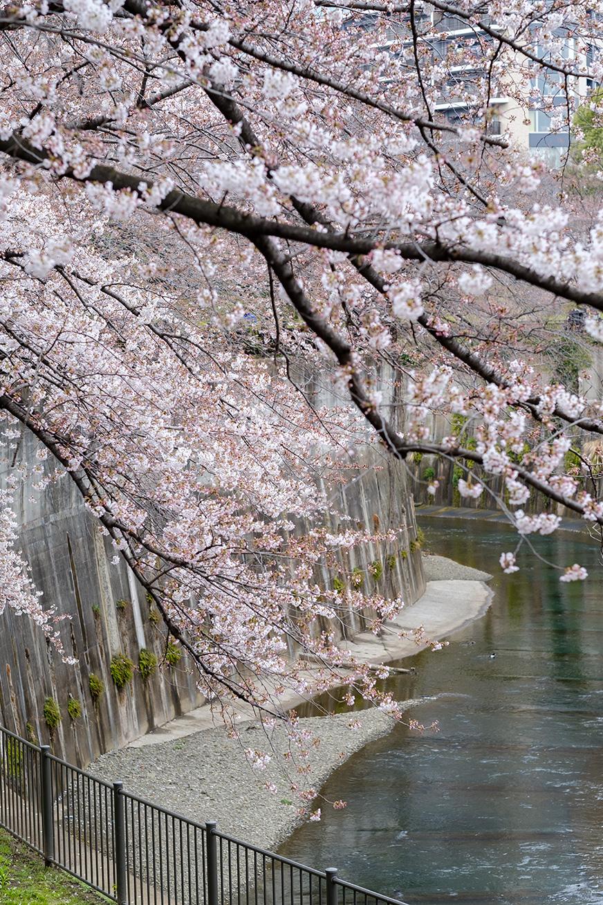 hanami_170401_04.jpg