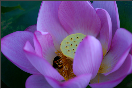 lotus_070816.jpg