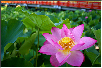lotus_070816_05.jpg