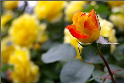 pinkrose_03.jpg