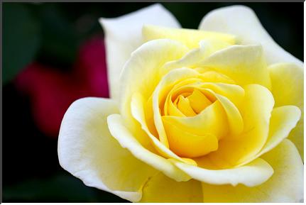 rose_070512.jpg