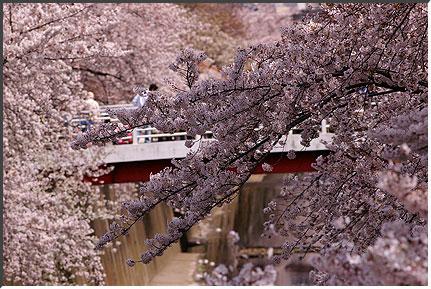 sakura_060401.jpg
