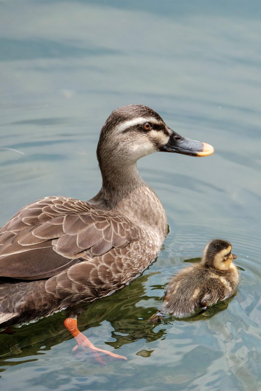 duck_180430_01.jpg