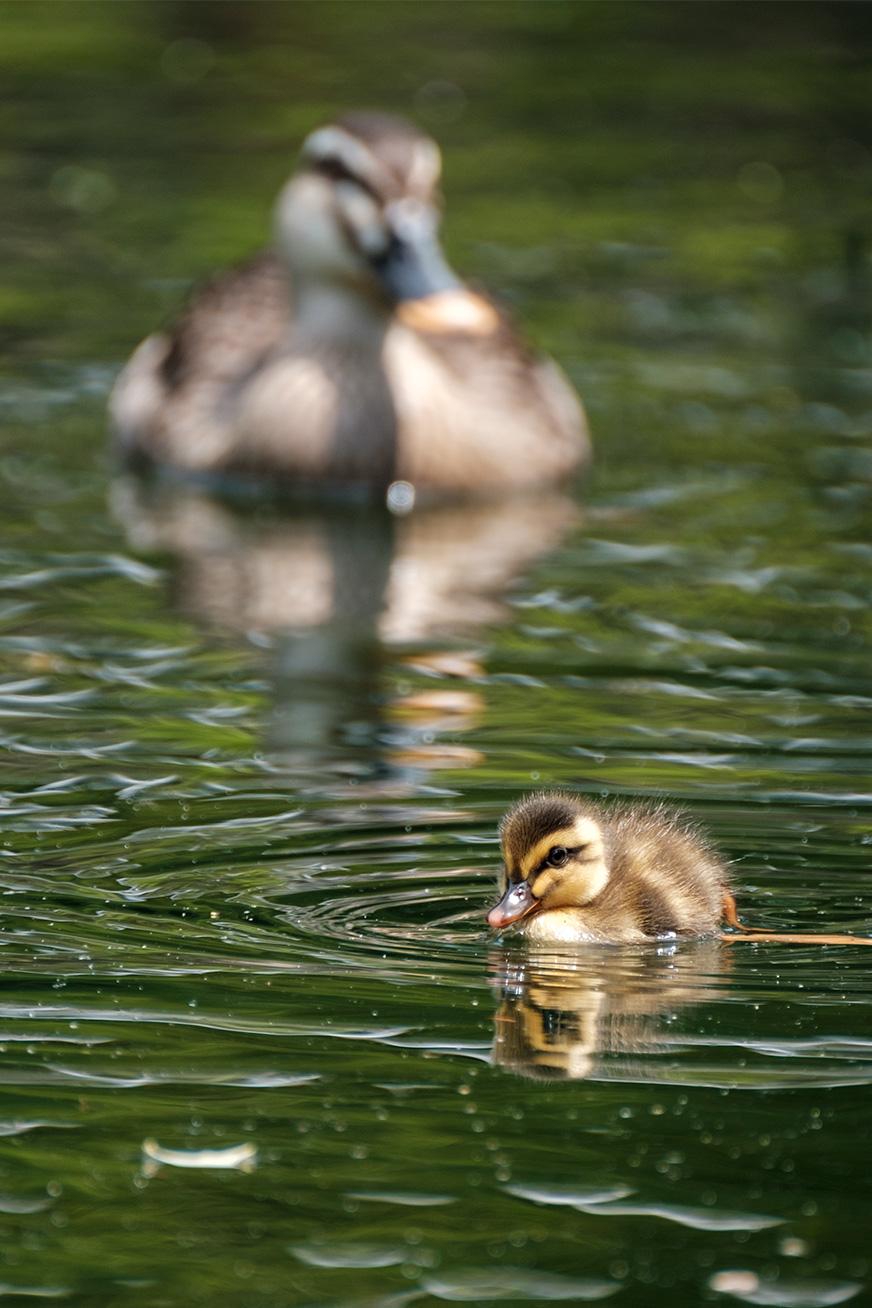 duck_180430_05.jpg