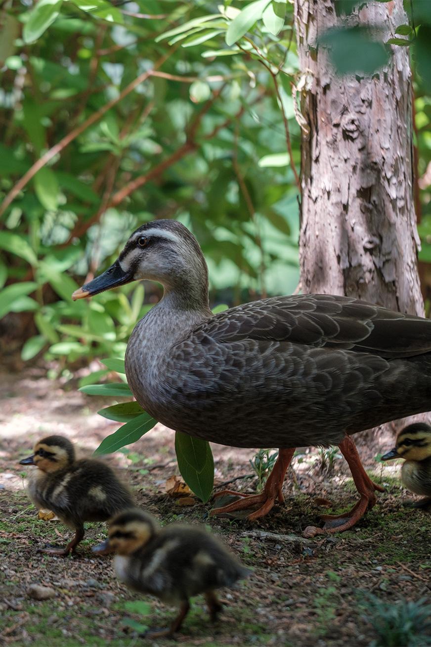 duck_180430_06.jpg