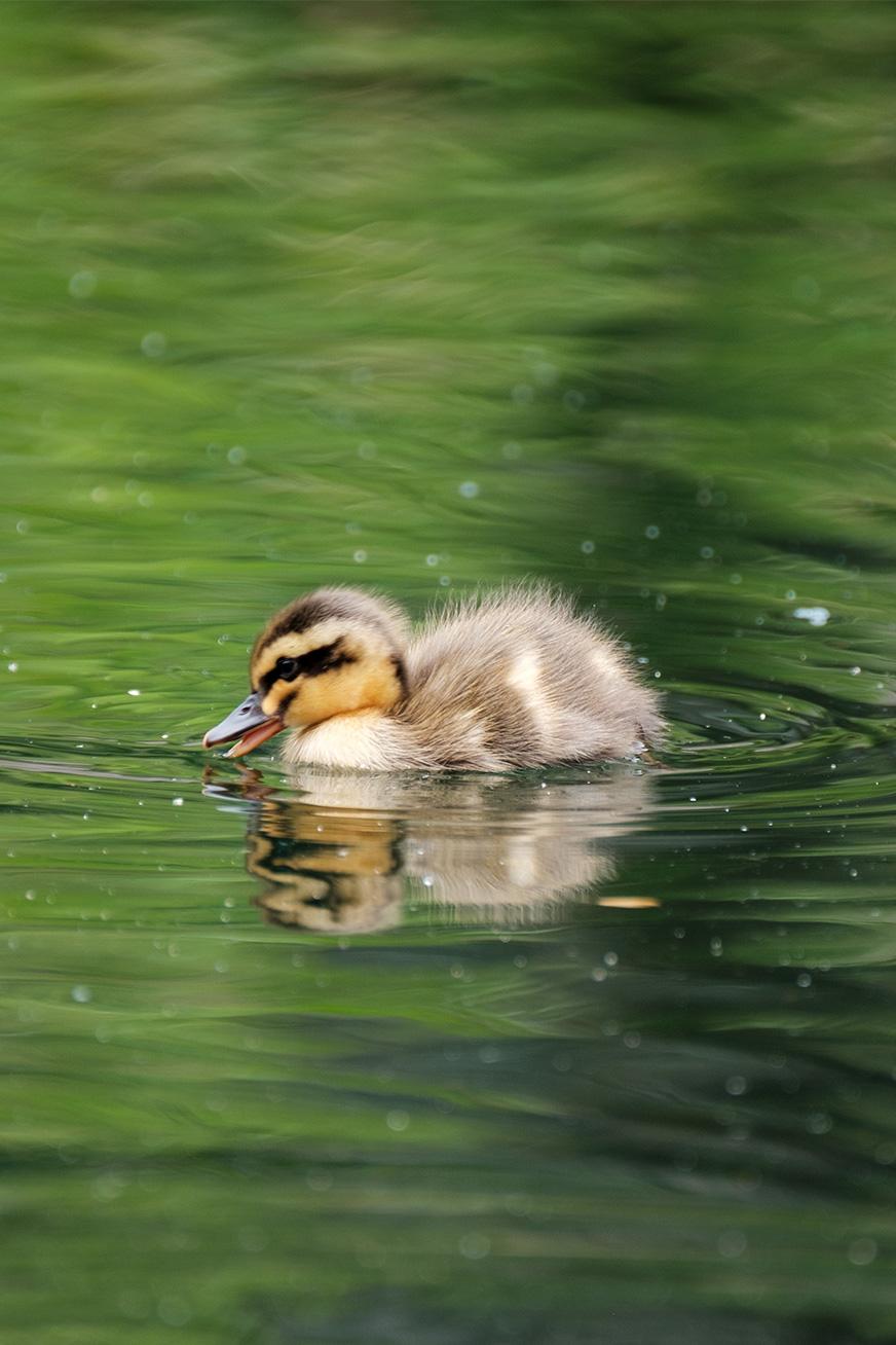 duck_180502_03.jpg
