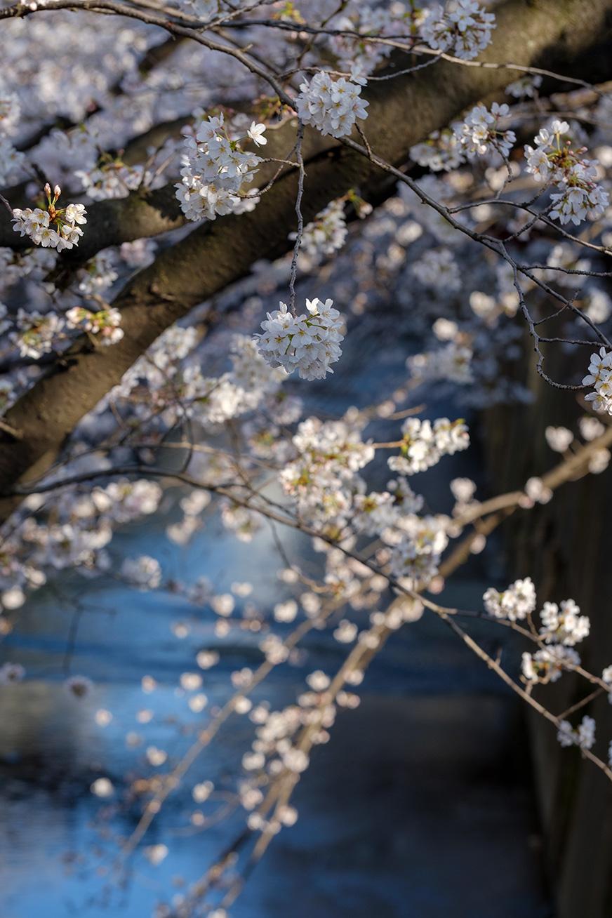 hanami_180325_01.jpg