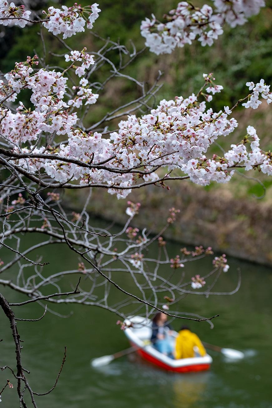 hanami_190331_02.jpg