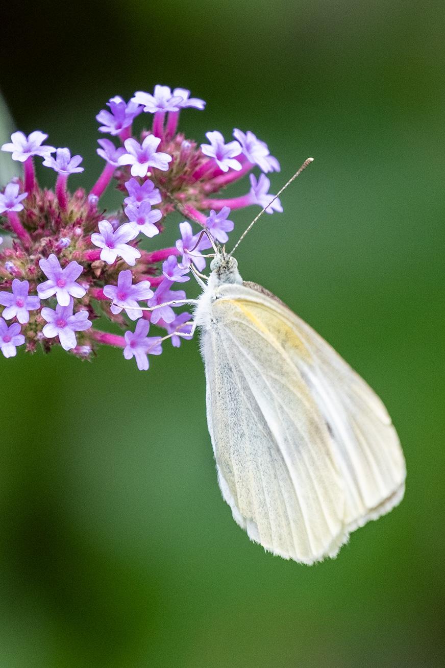 butterfly_200531_01.jpg