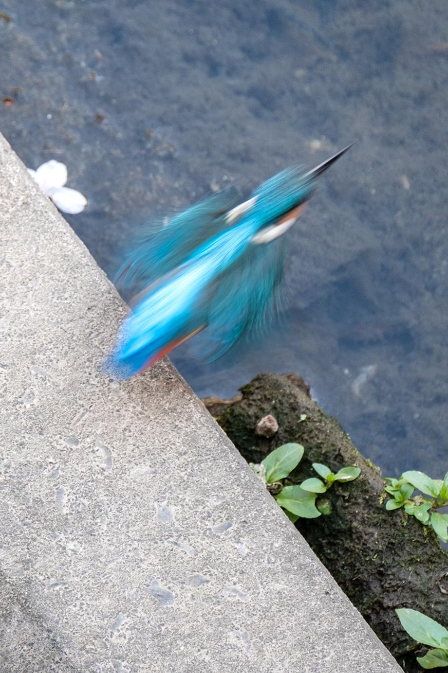 kawasemi_200321_03.jpg